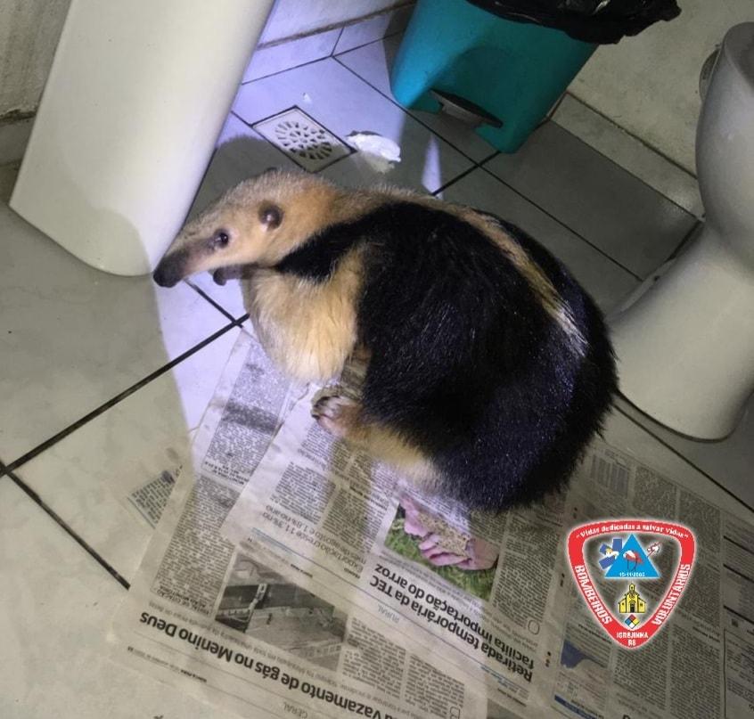Tamanduá foi encontrado no banheiro de um posto de gasolina   Foto: Corpo de Bombeiros Voluntários de Igrejinha