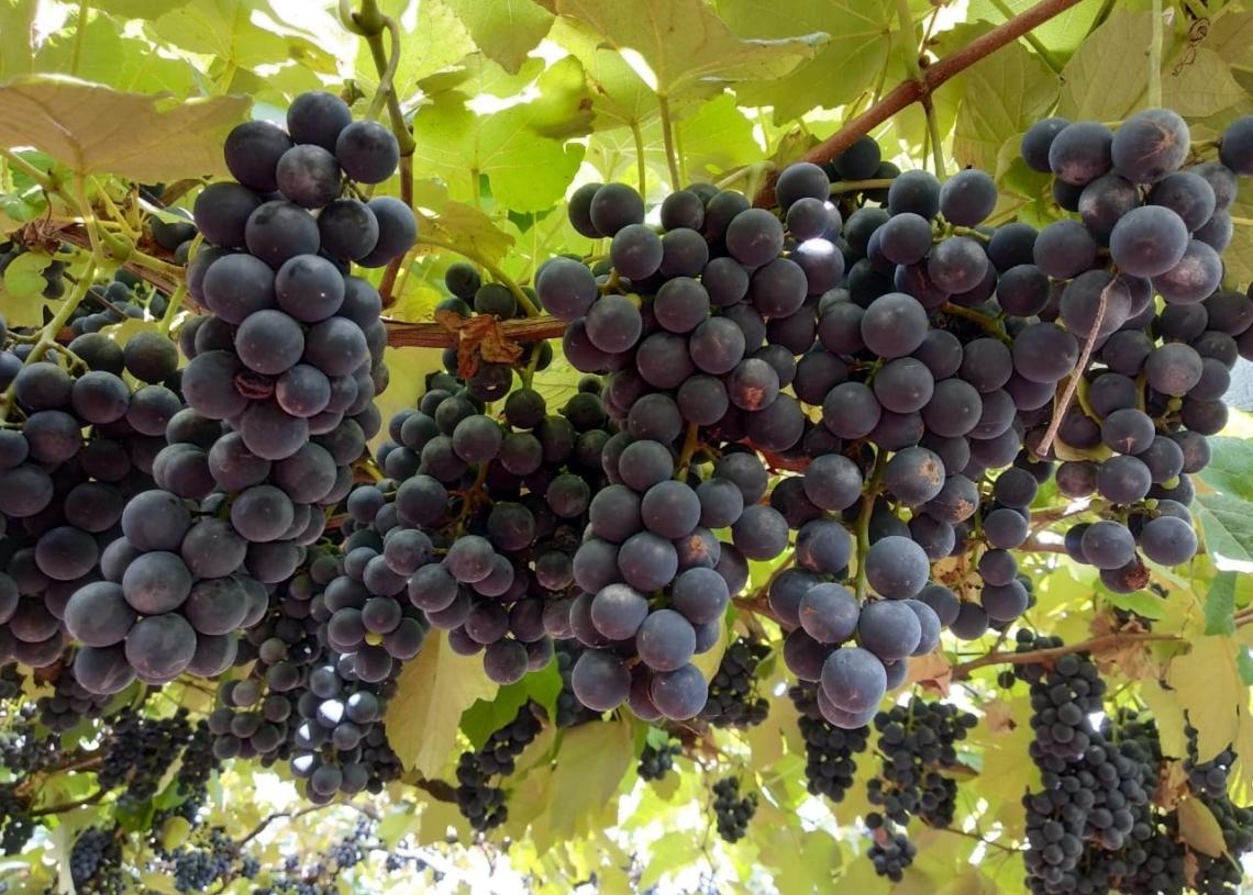 Uvas bordô são preferência da clientela na cantina dos Boniatti. Foto: Ana Lazari/Arquivo pessoal